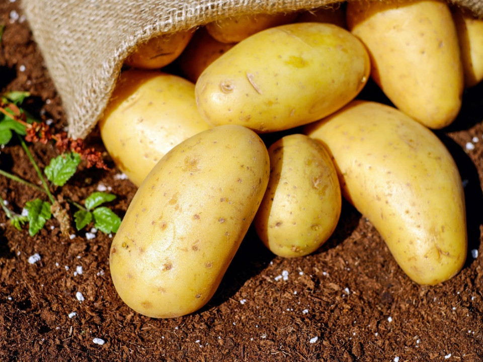 馬鈴薯發芽